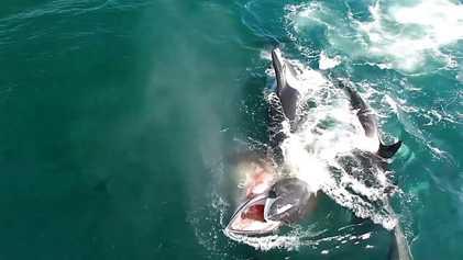 Imágenes fuertes: Un grupo de orcas caza a una ballena