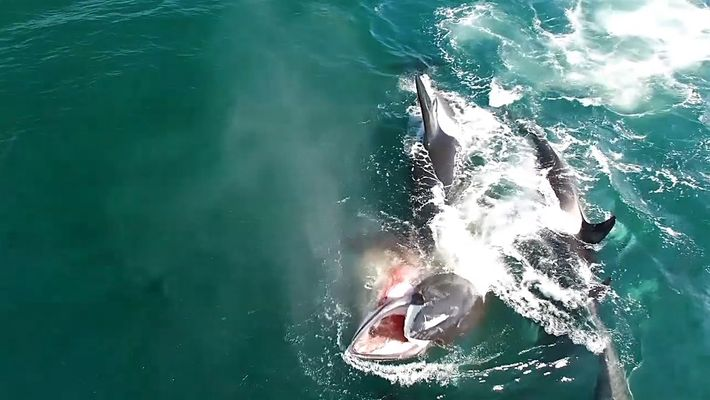 Video insólito: un grupo de orcas caza a una ballena