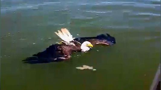 Rescatan a un águila que nadaba en la bahía