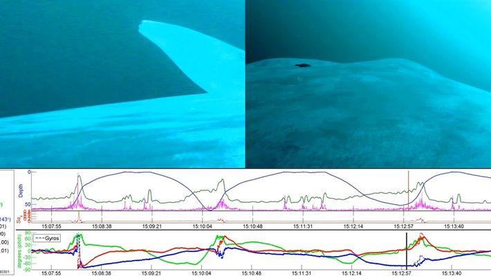 Las ballenas azules son en su mayoría zurdas