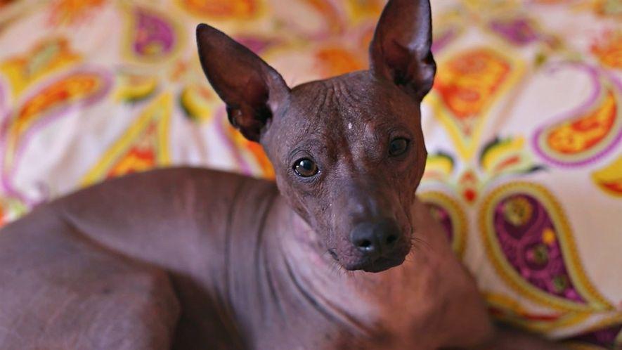 Estos perros mexicanos sin pelo tienen una sorprendente historia