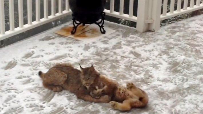 Video muestra a una mamá lince y sus cachorros jugando en la nieve