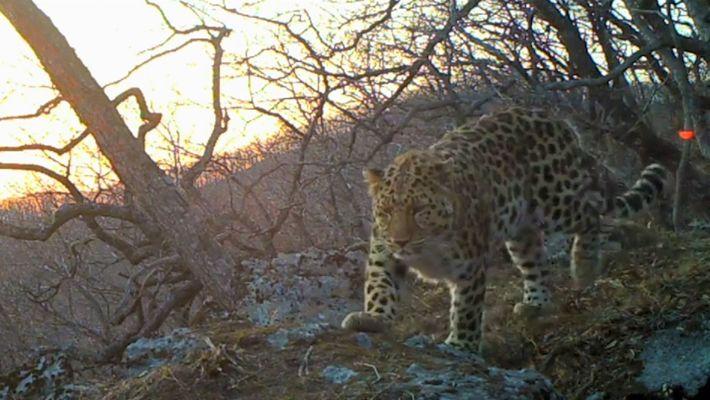 Escucha la primera grabación del leopardo más raro del mundo en naturaleza