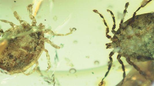 Mira ahora: Garrapatas encontradas en ámbar se alimentaban de dinosaurios
