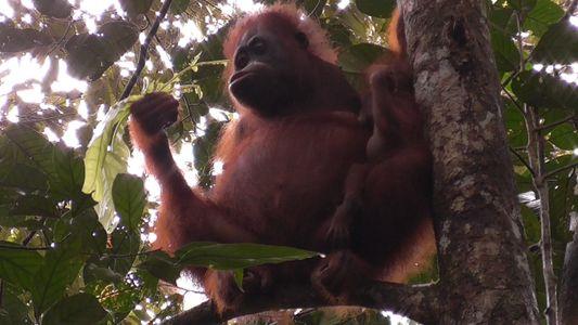 Un estudio revela algo sorprendente sobre los orangutanes