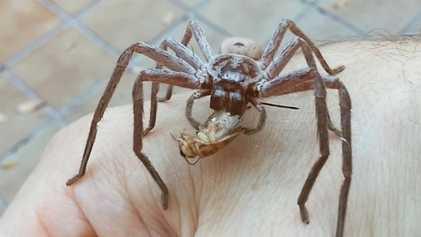 Una araña gigante devora un grillo en la mano de un hombre