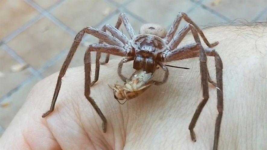 Una araña gigante devora el grillo en la mano del hombre