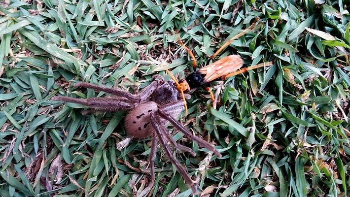 Una avispa carga a una araña paralizada, hasta que algo inesperado sucede