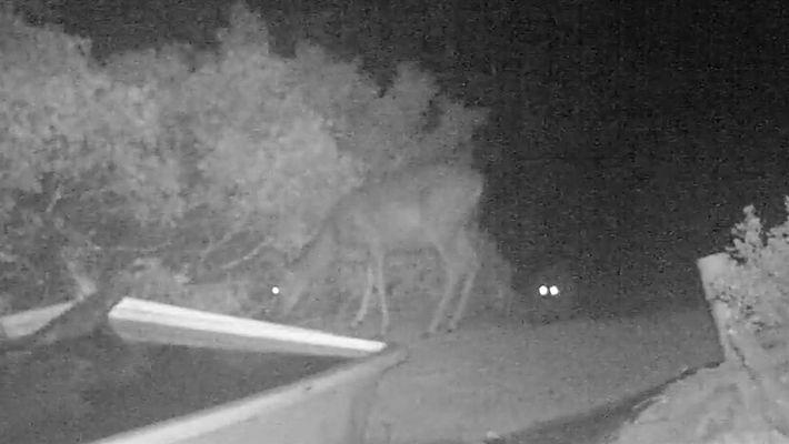 Video insólito: Un puma ataca a un ciervo