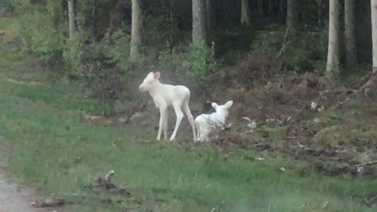 Mira ahora: raros gemelos blancos de alce captados en imagen