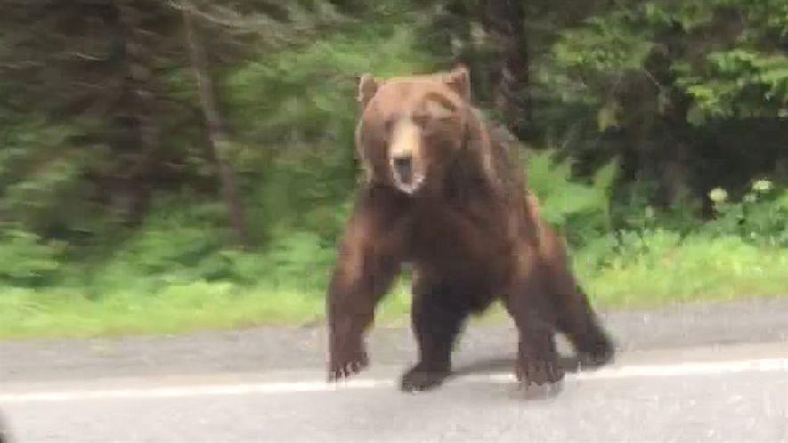 Mira ahora: un oso ataca un automóvil