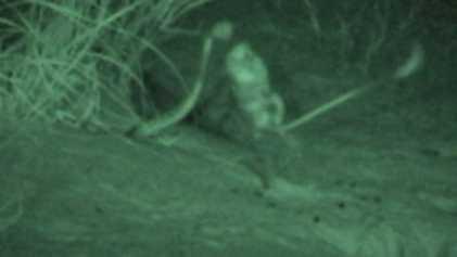 Rata canguro da patadas voladoras a una serpiente para escapar