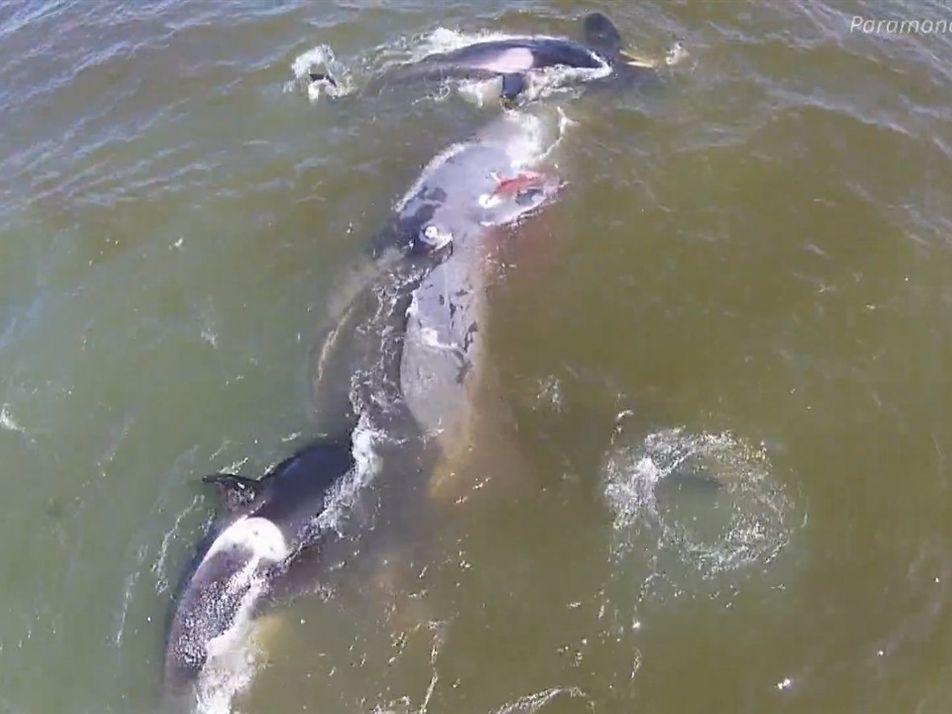 Orcas cazan a una ballena en un sorprendente ataque sincronizado