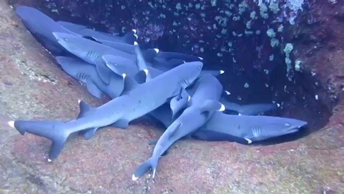 """Grupo de tiburones """"durmientes"""" captado por la cámara"""