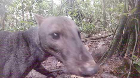 Conoce al extremadamente raro perro de orejas cortas del Amazonas