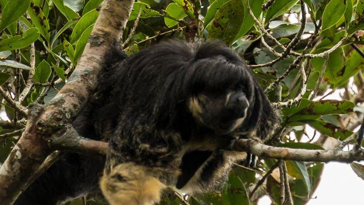 Mira ahora: Misterioso animal amazónico avistado por primera vez en 80 años