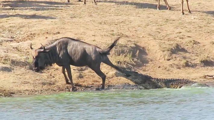 Dos hipopótamos salvan a este ñu de las mandíbulas de un cocodrilo