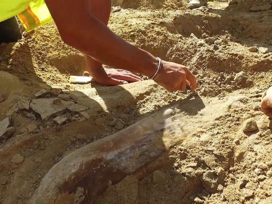 Raro fósil de triceratops descubierto por un equipo de constructores