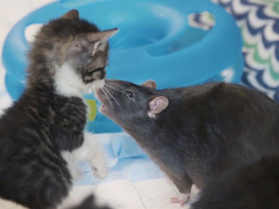 Mira ahora: estos gatitos tienen las niñeras más insólitas