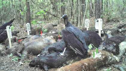 ¿Qué sucede cuando casi tres toneladas de cerdos muertos se pudren en el bosque?