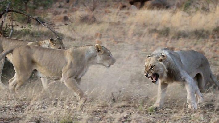 Mira cómo echan de la manada a este león en un extraño video