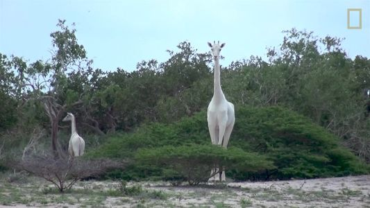 ¿Por qué estas jirafas son completamente blancas?