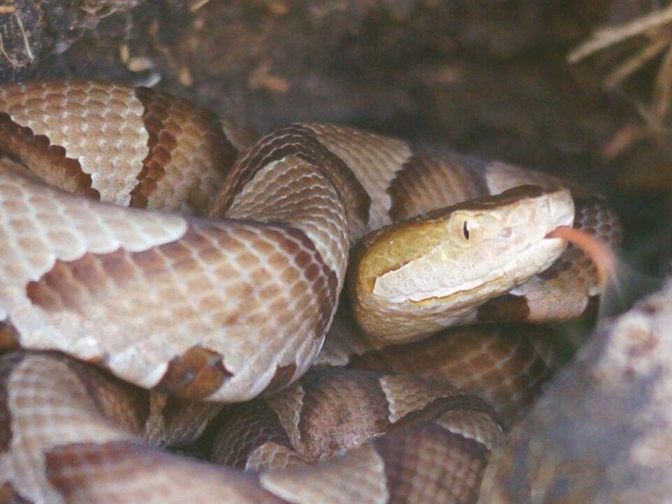 Todo lo que necesita saber sobre las serpientes cabeza de cobre