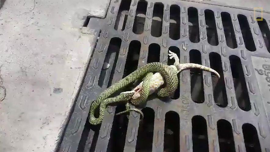 Esta pelea entre un gecko y una serpiente tiene un sorprendente final