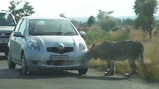Un león aprende de la manera difícil a no cazar coches