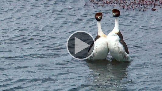 Estas aves patagónicas tienen una sexy y extraña rutina de baile