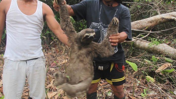 Un perezoso es capturado y vendido ilegalmente en este desgarrador video