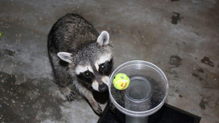 Estos mapaches superan una conocida prueba de inteligencia