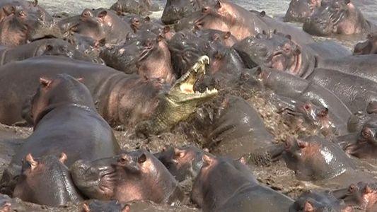 Mira lo que pasa cuando un cocodrilo invade el territorio de hipopótamos