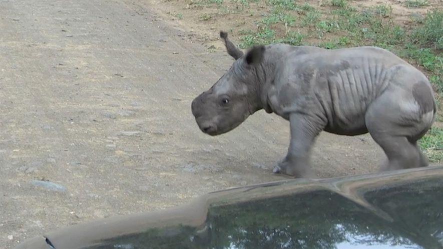 Rinoceronte bebé decide pelear con un vehículo, y luego cambiar de parecer