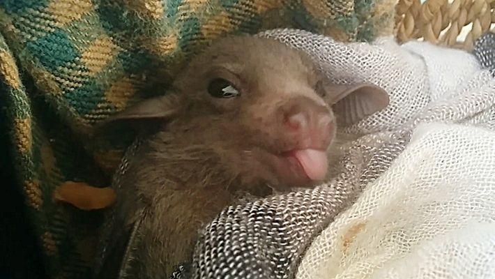 ¿Cómo aprenden los murciélagos bebés a comunicarse en dialectos?
