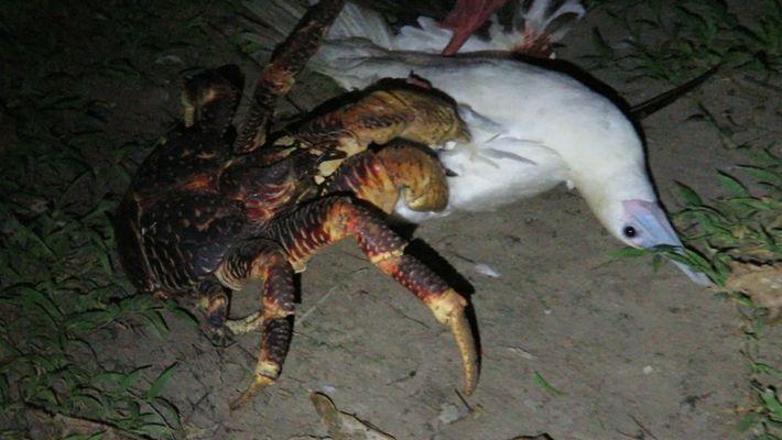 Mira cómo este cangrejo gigante ataca a un pájaro