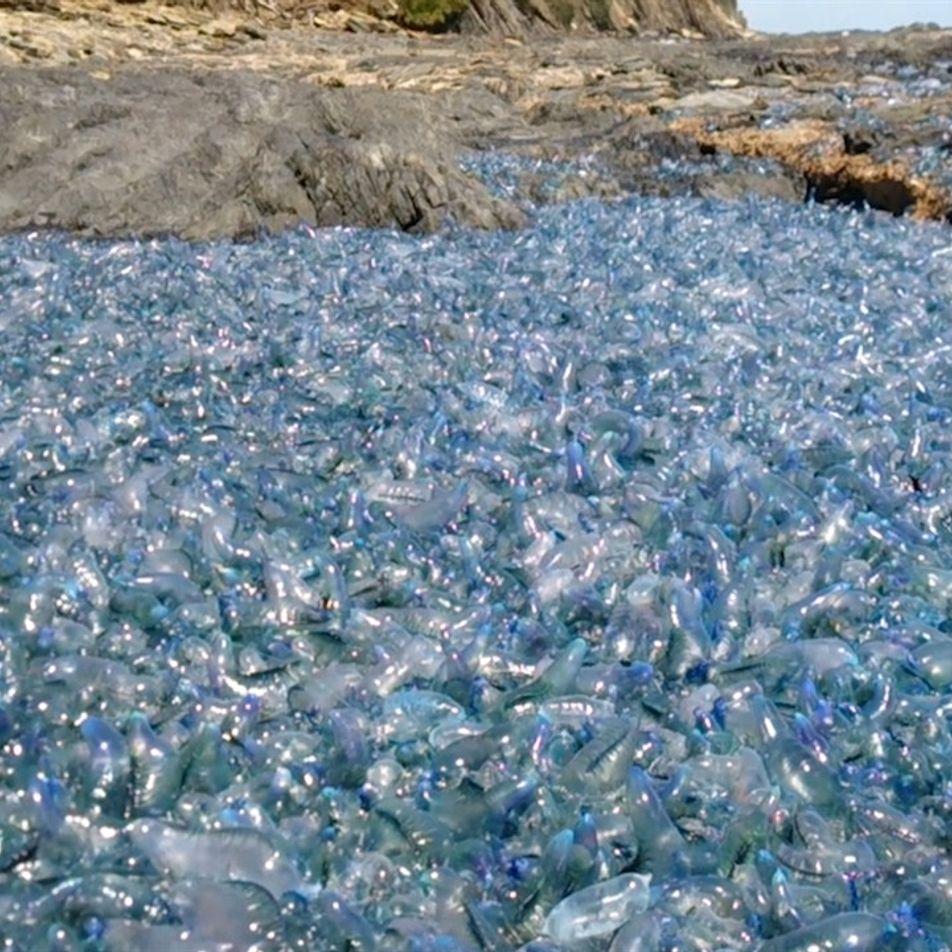 Mira este manto de medusas arrastradas hasta la costa