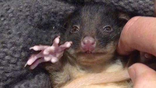 A este adorable falangero bebé rescatado le encantan las cosquillas