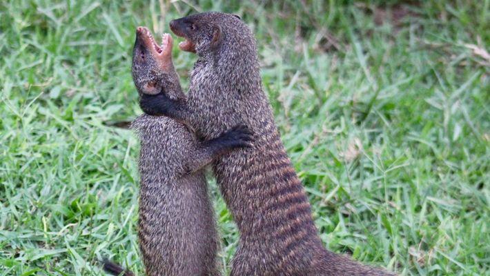 Mira cómo estas mangostas hembra pelean por sus hijos