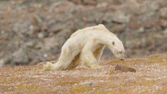 Video desgarrador: Oso polar hambriento sobre tierras sin hielo