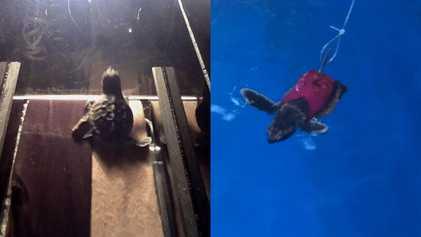 Mira: tortugas marinas bebés usan una caminadora en un estudio científico
