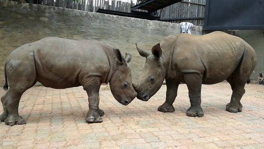 Una rinoceronte bebé huérfana hace una nueva amiga