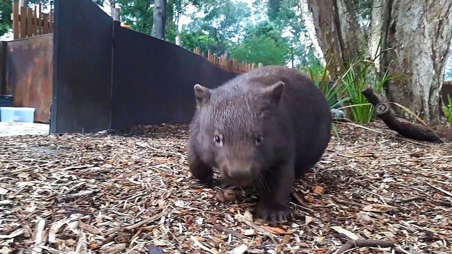 Un tierno wombat corre sin control