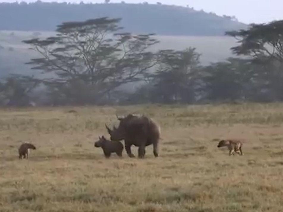 Una mamá rinoceronte enseña a hienas hambrientas a no meterse con su cría