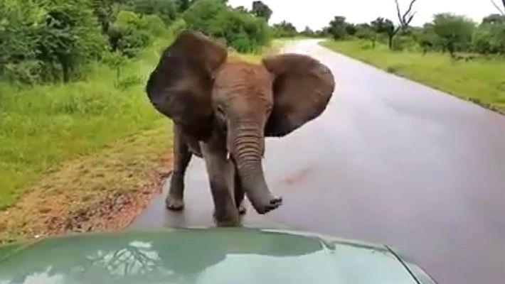 """Una cría de elefante muy juguetona """"ataca"""" a los automóviles"""