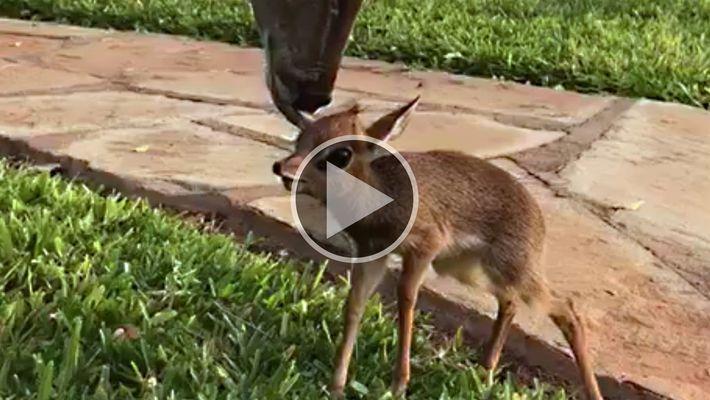 Un pequeño antílope entabla una insólita amistad