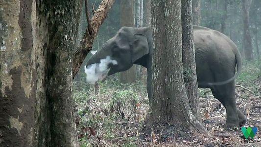 Este elefante salvaje sopla humo en un inusual video