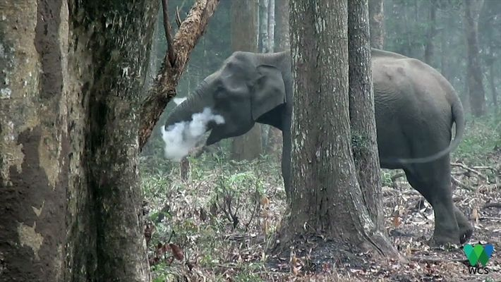 Este elefante salvaje sopla humo en un inusual video