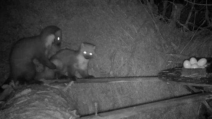 Mira a estas dos martas americanas luchar por comida