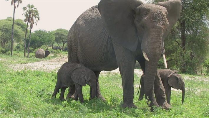 Contra todas las probabilidades, estos elefantes africanos gemelos están creciendo muy bien